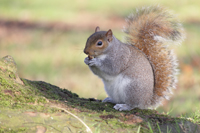 Photo of a gray squirrel eating an acorn